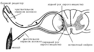 Схема рефлекторной дуги