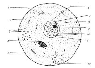 Обобщенная животная клетка