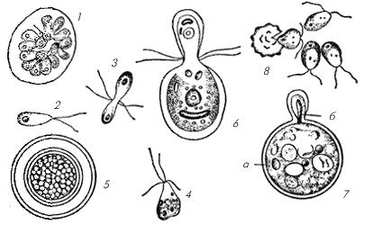 Половой процесс у хламидомонад
