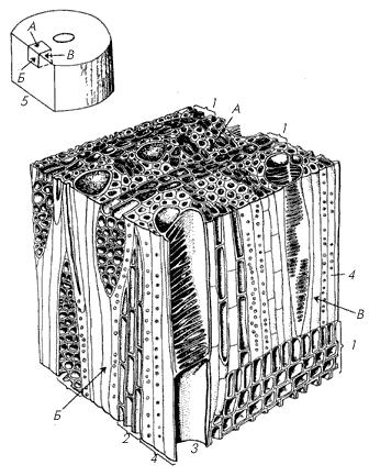 Объемное изображение строения участка древесины двудольного растения.
