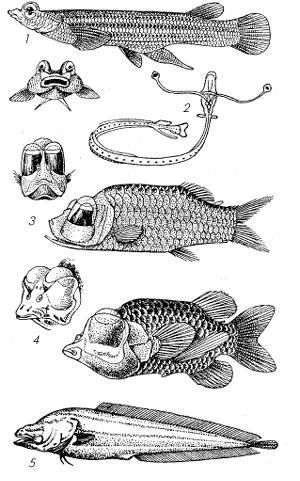 Глаза у представителей различных групп рыб.