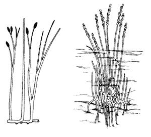 Первые сосудистые растения: риния (слева) и зостерофиллум (справа)