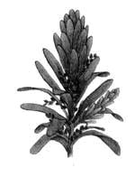 Веточка примитивного хвойного растения мезозоя – кордаита