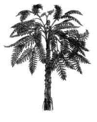 Представитель флоры позднего девона и карбона – семенной папоротник медуллоза